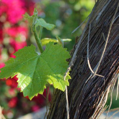 Mas des Bressades Les Vignes de Mon Père Cabernet-Syrah